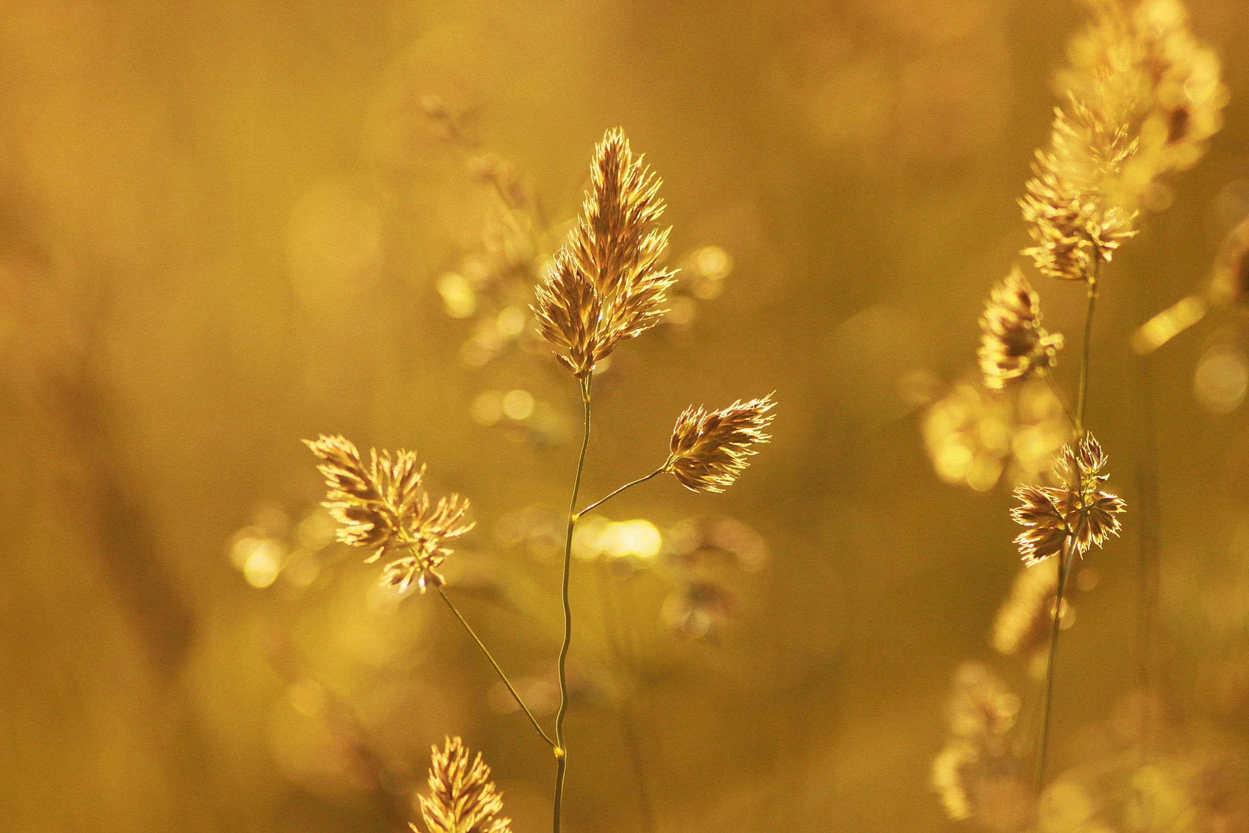 close-up-of-wheat-plant-during-sunset-256643
